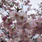 Cerisiers en fleurs, Japon