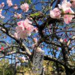 Cerisiers en fleurs, Naka Meguro Tokyo