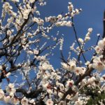 Pruniers en fleurs, Tokyo